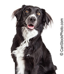 Closeup of Border Collie Mix Breed Dog with open mouth and...