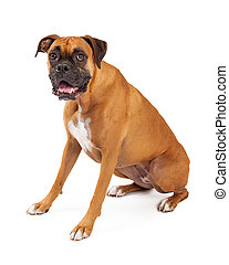 Cute and Friendly Looking Boxer Dog Sitting - A cute and...