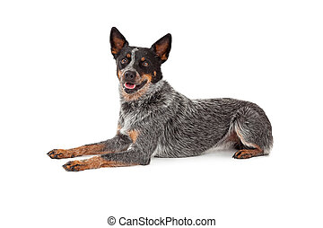 Friendly Australian Cattle Dog Laying - A friendly looking...