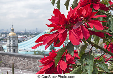 Pointsettias at the Basilica of Guadalupe - Beautiful red...