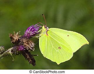 brimstone butterfly on flower 2