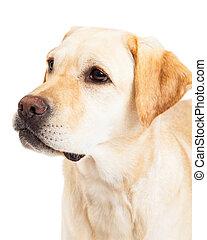 Head Shot Of A Labrador Retriever Dog
