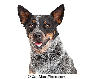 Head Shot Of An Australian Cattle Dog - Head Shot of an...