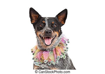 Head Shot of Australian Cattle Dog Wearing Unique Collar -...