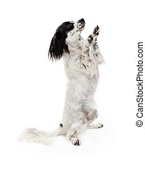 Papillon Mix Breed Dog Begging - A Papillon Mix Breed Dog...