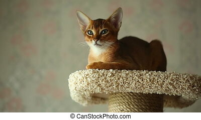 Abyssinian kitten sitting on the upholstered pedestal