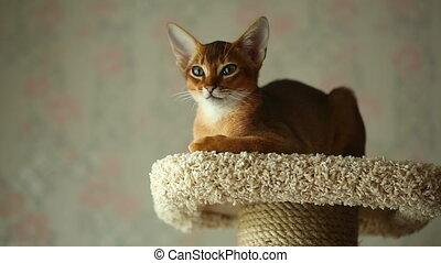 Abyssinian kitten sitting on the upholstered pedestal