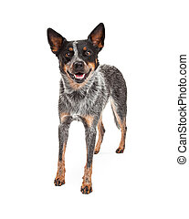 Smiling Australian Cattle Dog Standing - An Australian...