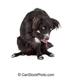 Shy Border Collie Mixed Breed Dog - A shy Border Collie Mix...
