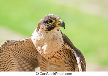 Small and fastest raptor bird peregrine or accipiter with...