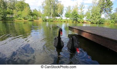 Black Swans - Two black swans swimming in a lake