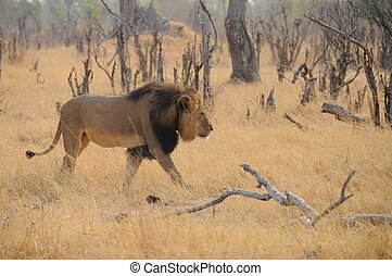 Cecil Walking - Cecil, the Lion, going for a walk