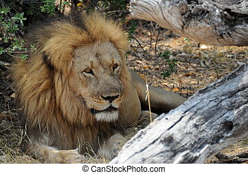 Cecil Resting - Cecil, the largest tagged lion in Zimbabwe,...