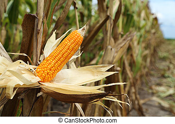 Corn on the stalk in the field, Thailand