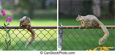 Squirrel - Collage of squirrel waiting to steal food from...