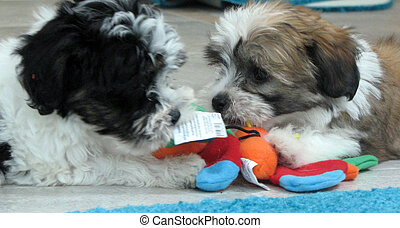 Havanese Puppies pals - Brothers - Two Havanese pups rescued...