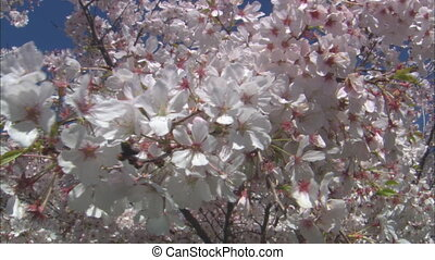 MS Cherry Blossoms - MS of the branches of a cherry tree...