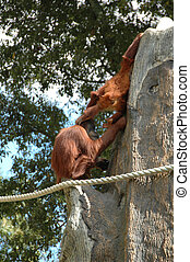 Orang-Utan (Pongo pygmaeus) - The world%u2019s largest ape,...