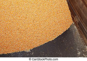 Pile of raw kernel corn beans on truck
