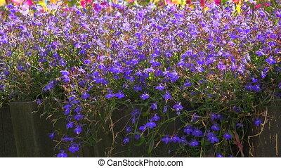 Blue flowers. 4K. - Blue flowers. Shot in 4K (ultra-high...