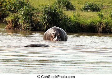 hippos going below the water - Hippos going below the water...