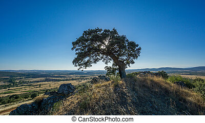 holm oak backlit against blue sky, sun reflection - Widen...