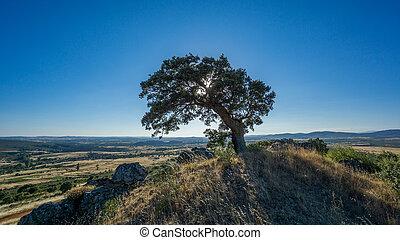 holm oak backlit against blue sky, sun reflection - Widen...
