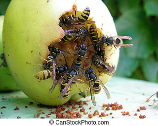 Wespen - Wasps eating the green apple
