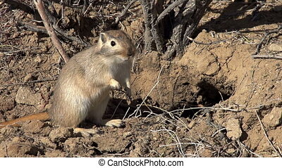 Gopher Pricked up His Ears - Ground squirrel standing on...