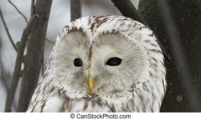 Ural owl sits on a tree in natural habitat