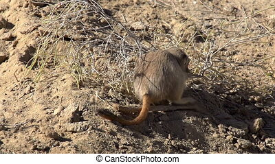 Gopher Drags Twig - Gopher snaps twig haloxylon and drags to...