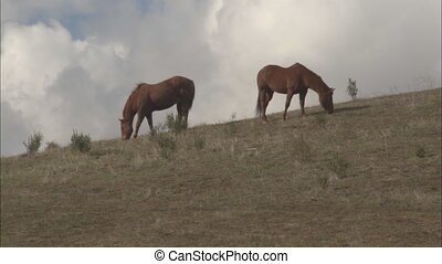Mt Hamiliton Horses Grazing MS - MS of 2 bay horses on a...
