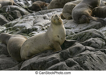 South American fur seal (Arctocephalus australis) - South...
