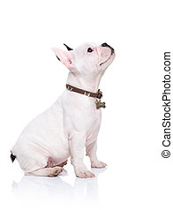 french bulldog puppy sitting and looking up to something -...