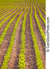 Rows of soy plants in a field - Rows of soy plants in a...