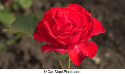 Red rose. Dissipated the Bud. Shot in 4K (ultra-high...