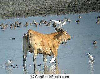 vache  et oiseaux - oiseaux ,lac et vache