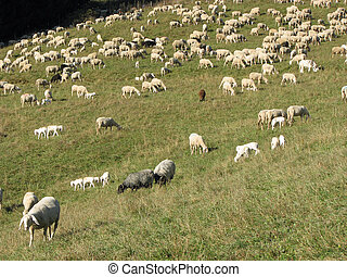 flock of white sheep and goats grazing in the mountains -...
