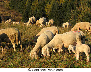 immense flock of sheep and goats grazing in the mountains -...