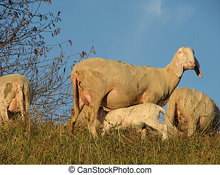 mother sheep breastfeeding her little lamb