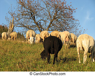 black sheep in the midst of the flock with many other white...