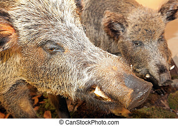 Real stuffed wild boar- Museum of the Tatra National Park -...