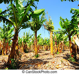 Banana Plantation After Gathering In The Harvest