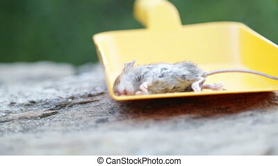 dead mouse in yellow scoop - Dead mouse presented in yellow...