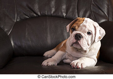 English bulldog puppy sitting on black leather sofa