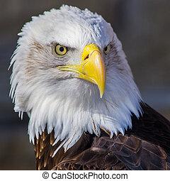 calvo, águia,