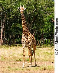 Masai giraffe Giraffa camelpardalis tippelskirchi in the...
