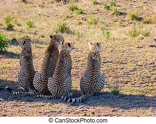Four cheetah Acinonyx jubatus in Masai Mara reserve