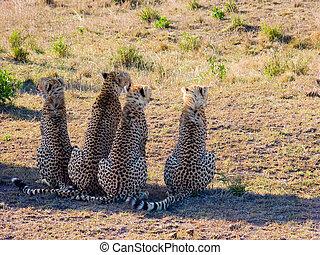 Four cheetah (Acinonyx jubatus) in Masai Mara reserve
