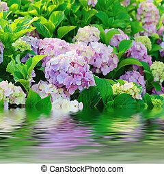 Hydrangea flowers - Many colorful hydrangea flowers growing...